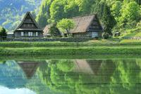 五箇山 新緑の菅沼集落と水田
