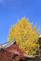 宮島 豊国神社の大イチョウの黄葉 11076028190| 写真素材・ストックフォト・画像・イラスト素材|アマナイメージズ