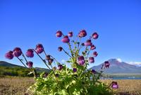 山中湖より富士山とフジアザミ 11076028607| 写真素材・ストックフォト・画像・イラスト素材|アマナイメージズ