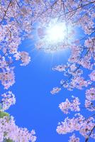 サクラと太陽に光芒