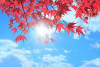 紅葉のモミジと太陽に光芒