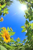 ヒマワリと太陽に光芒
