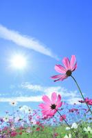 コスモスと太陽に光芒
