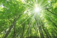 新緑のブナ林と太陽に光芒
