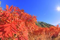 千畳敷カールのナナカマド紅葉