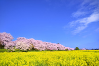 権現堂堤の桜並木とナノハナ畑