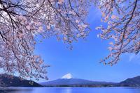河口湖の桜と富士山