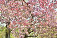 ハナミズキの花に八重桜の背景 11076028967| 写真素材・ストックフォト・画像・イラスト素材|アマナイメージズ
