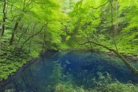新緑の十二湖(青池)
