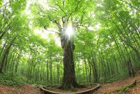 新緑のブナの巨木(森の神)と光芒