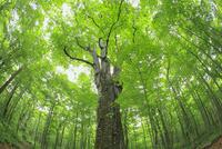新緑のブナの巨木(森の神)