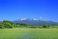 新緑の鳥海山と水田