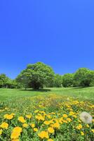 新緑の木立とタンポポ