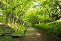 上田城跡公園 ケヤキ並木遊歩道の新緑