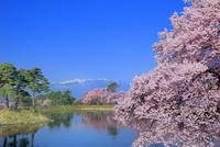 六道堤の桜と中央アルプス 11076029299| 写真素材・ストックフォト・画像・イラスト素材|アマナイメージズ