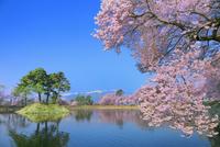 六道堤の桜と中央アルプス 11076029300| 写真素材・ストックフォト・画像・イラスト素材|アマナイメージズ