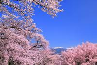 春日公園 桜と南アルプス 11076029304| 写真素材・ストックフォト・画像・イラスト素材|アマナイメージズ