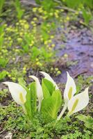 ミズバショウの花