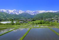 新緑の白馬村 水田と白馬三山