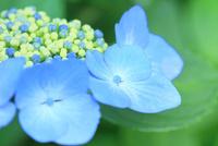 アジサイの花 11076029342| 写真素材・ストックフォト・画像・イラスト素材|アマナイメージズ