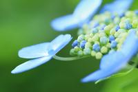 アジサイの花 11076029343| 写真素材・ストックフォト・画像・イラスト素材|アマナイメージズ