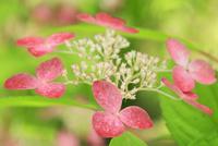 ヤマアジサイの花 11076029344| 写真素材・ストックフォト・画像・イラスト素材|アマナイメージズ