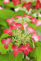 ヤマアジサイの花 11076029345| 写真素材・ストックフォト・画像・イラスト素材|アマナイメージズ