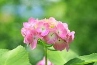 アジサイの花 11076029346| 写真素材・ストックフォト・画像・イラスト素材|アマナイメージズ