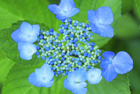 アジサイの花 11076029348| 写真素材・ストックフォト・画像・イラスト素材|アマナイメージズ
