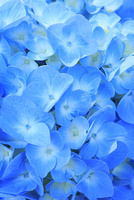 アジサイの花 11076029349| 写真素材・ストックフォト・画像・イラスト素材|アマナイメージズ