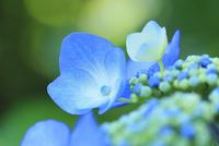アジサイの花 11076029351| 写真素材・ストックフォト・画像・イラスト素材|アマナイメージズ