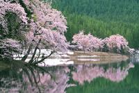 中子池と桜