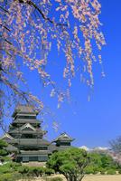 松本城と桜に北アルプス