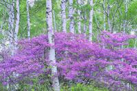 八千穂高原 トウゴクミツバツツジと白樺林
