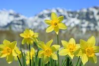 スイセンの花と残雪の山