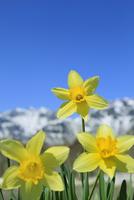 スイセンの花と残雪の山 11076029426| 写真素材・ストックフォト・画像・イラスト素材|アマナイメージズ