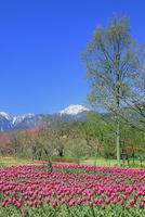 チューリップ畑と桜に北アルプス・常念岳 11076029445| 写真素材・ストックフォト・画像・イラスト素材|アマナイメージズ