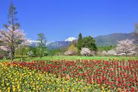 チューリップ畑と桜に北アルプス・常念岳 11076029447| 写真素材・ストックフォト・画像・イラスト素材|アマナイメージズ
