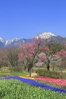 チューリップ畑と桜に北アルプス・常念岳