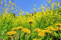 タンポポの花とナノハナ