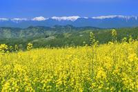 ナノハナ畑と民家に北アルプス