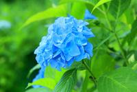 アジサイの花 11076029496| 写真素材・ストックフォト・画像・イラスト素材|アマナイメージズ