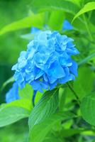 アジサイの花 11076029497| 写真素材・ストックフォト・画像・イラスト素材|アマナイメージズ