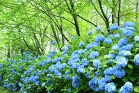 アジサイの花 11076029498| 写真素材・ストックフォト・画像・イラスト素材|アマナイメージズ