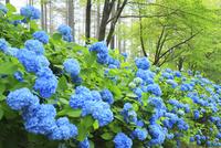 アジサイの花 11076029499| 写真素材・ストックフォト・画像・イラスト素材|アマナイメージズ