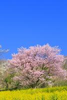夢農場の桜とナノハナ
