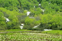 ミズバショウの花咲く栂池自然園