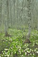 ミズバショウの花咲く戸隠高原