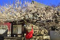 京都・北野天満宮 梅の花と臥牛像