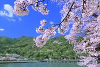 春の嵐山 サクラと渡月橋 11076029590| 写真素材・ストックフォト・画像・イラスト素材|アマナイメージズ